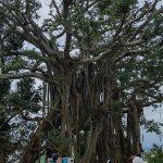樹上生活の舞台!伊江島の「二ーバンガジュマル」って知ってる?